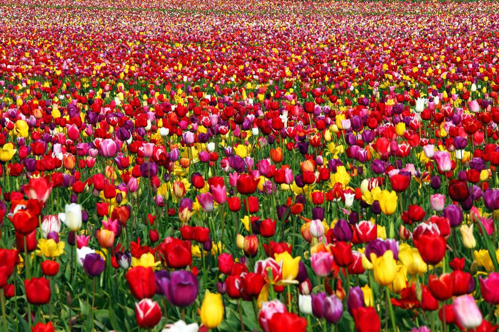 field of tulips all colors