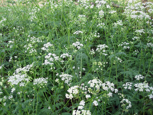 A mass of cow parsley, Anthriscus sylvestris, in High Elms Country Park on Easter Monday, 25th April 2011. It is a common hedgerow plant in this area.