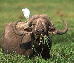 Bufallo - Amboseli swamp
