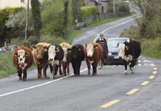 Cattle holding up a car on a main road in Ireland - the traditional 'Irish traffic jam'