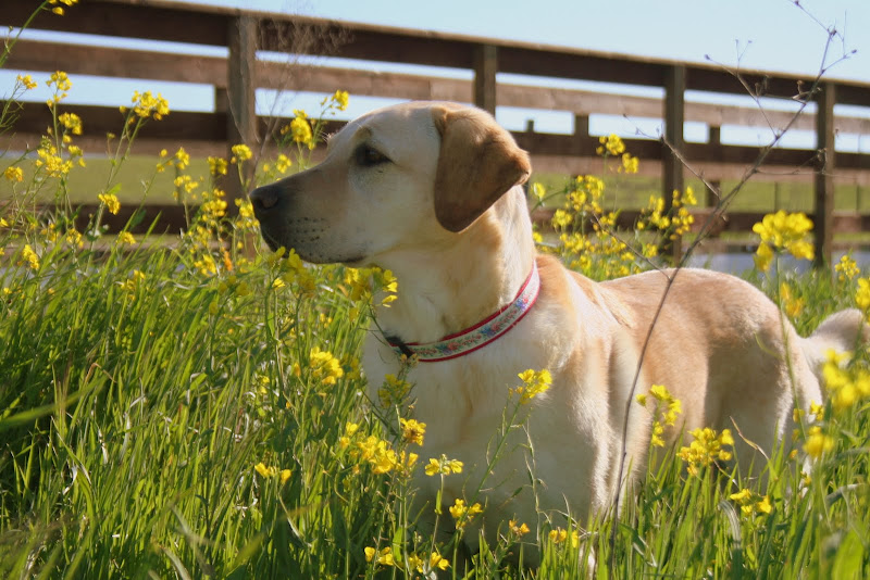 yellow labrador cabana standing in a field, surrounded by yellow mustard flowers that are as high as her chin
