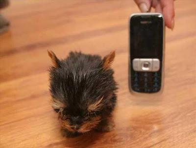 كلب أصغر من حجم هاتف مالكته !!!!