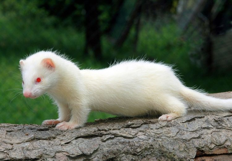 ferrets on steroids video