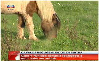 http://sicnoticias.sapo.pt/pais/2012/12/22/centenas-de-cavalos-abandonados-em-terrenos-em-sintra