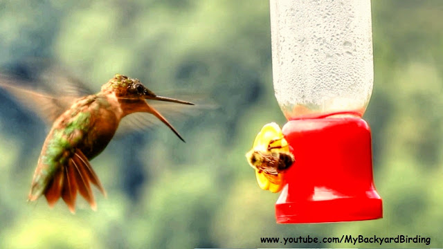 Ruby Throated Hummingbird and Bumble Bee