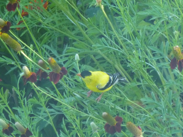 Goldfinch and Mexican hats (Ratibida columnifera)