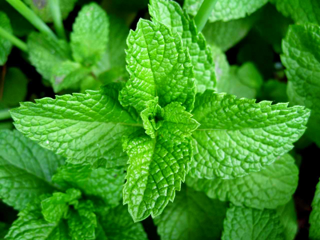 mint benefits for skin