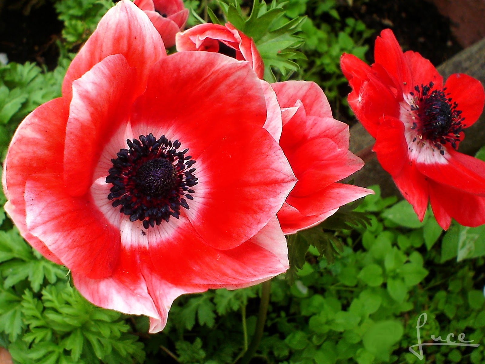 Anemone Flowers Flowers