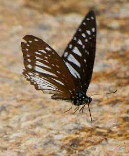 Common Mime (Papilio clytia f. clytia)