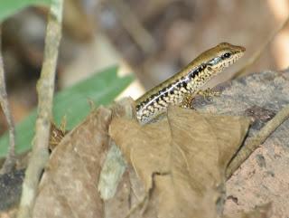 Spotted Forest Skink (Sphenomorphus maculatus)