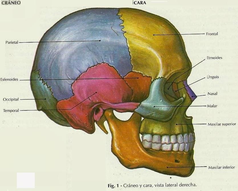 Lujoso Parte Posterior De La Anatomía Del Cráneo Ilustración ...