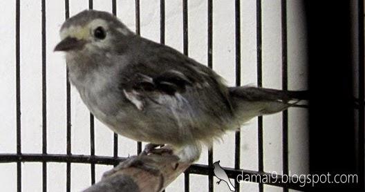 Budidaya Burung OPIOR JAWA ATAU CUCAK GENTONG BISA