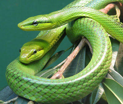 Red_Tailed_Green_Rat_snake