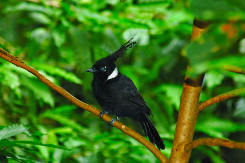 Foto Burung Cililin Jantan