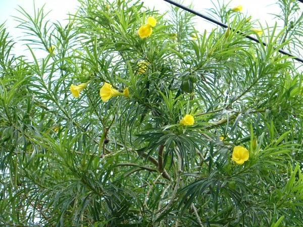 Bois lait laurier jaune flore de l le de la r union for Entretien jardin reunion