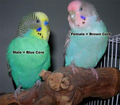 Budgerigar breeding, budgie breeding, Love birds breeding