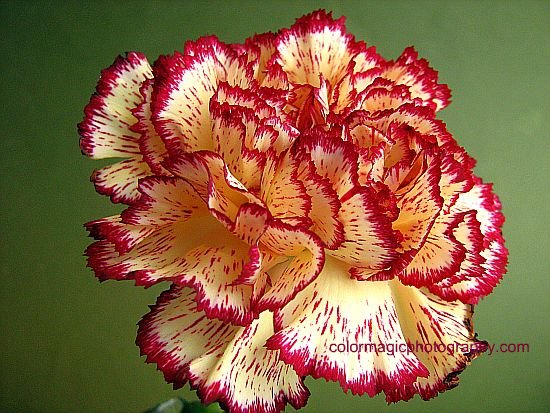 Carnation macro-yellow burgundy