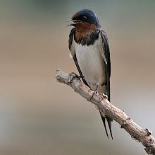 Barn Swallow_2011