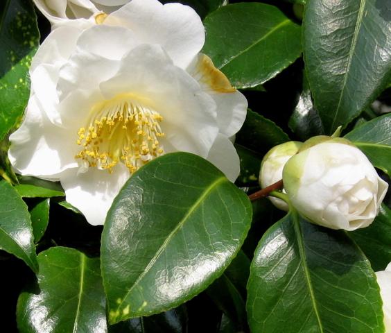 Seattle garden ideas comely camellias comely camellias mightylinksfo