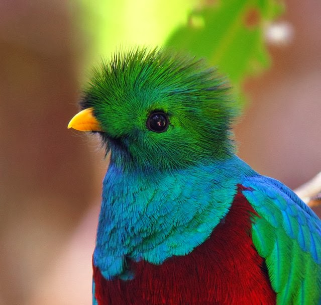Amazing and Incredible: Resplendent Quetzal is Famous For ... - photo#19