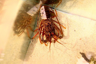 Japanese spiny lobster (color variation)