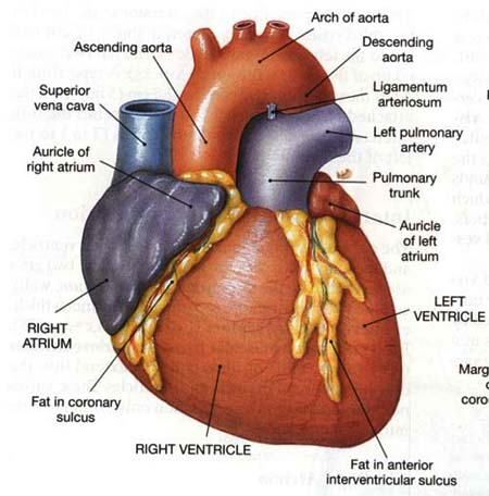 heart diagram blank. lank human heart diagram