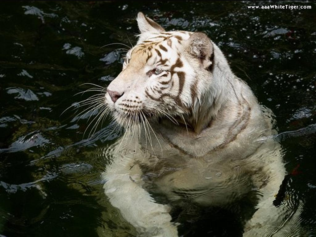 White tigers in water - photo#1