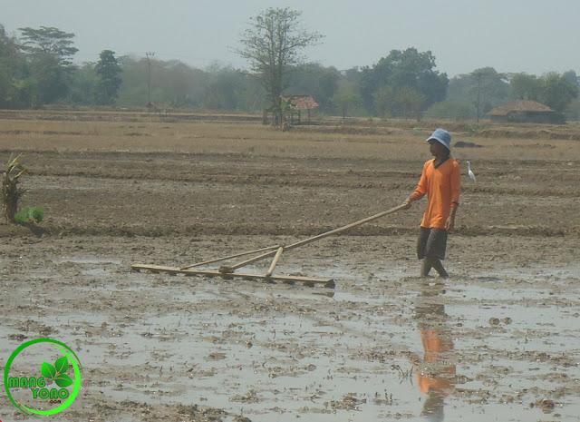 FOTO : Mang Yanto sedang NAPLAK. Garis taplak ini untuk menentukan jarak tanam padi.