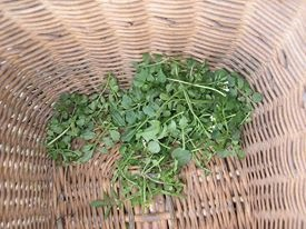 Bittercress is an early spring food #saveourskills #food