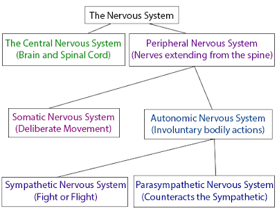 A diagram of the nervous system, broken down into the central and peripheral nervous systems, the latter of which is subdivided into the somatic and autonomic nervous systems.
