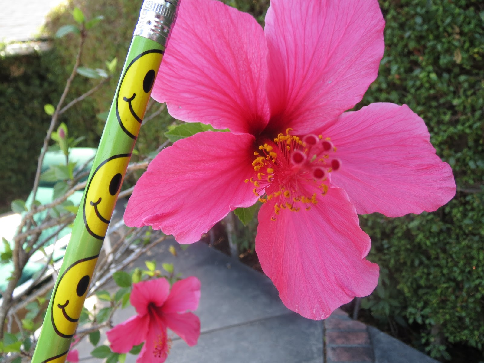 My biological collection anther and filament of stamen the hibiscus flower contains many stamens which contain the anther and filament its male reproductive parts izmirmasajfo