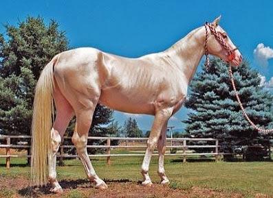 Kuda Emas Paling Indah di Dunia