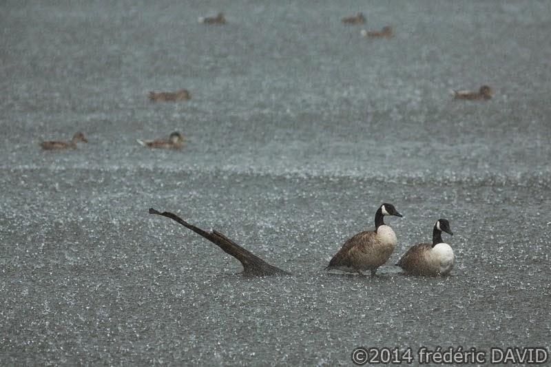 animaux oiseaux oie bernache du Canada canards étang averse pluie marais Misery essonne
