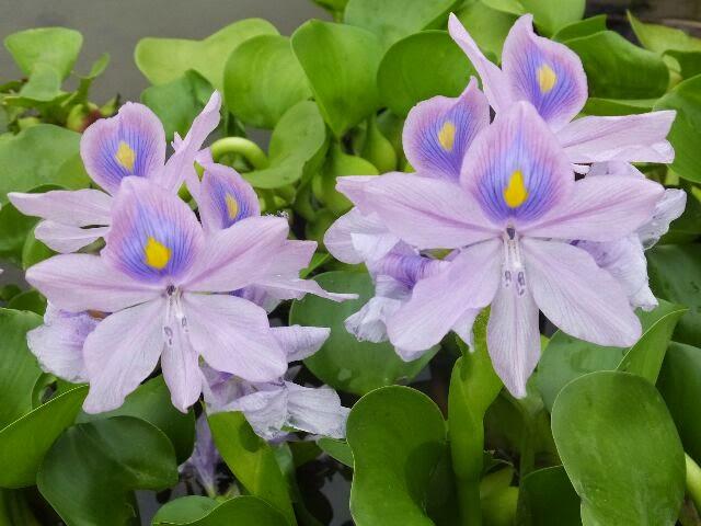 観察すると花ビラの上のひとつが濃い紫で、その真ん中が黄色になっている。
