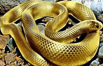 rắn vàng