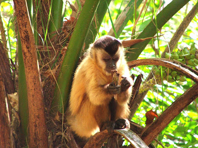 Macaco prego se alimentando