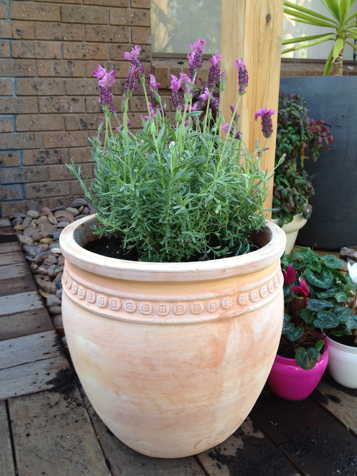 Spring seedlings and planting the greening of gavin - Growing lavender pot ...