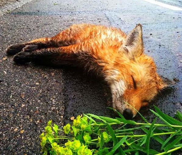 A Man Found A Dead Fox In The Street On His Way To Work. When He Returned On The Way Home, He Could Not Believe What He Saw