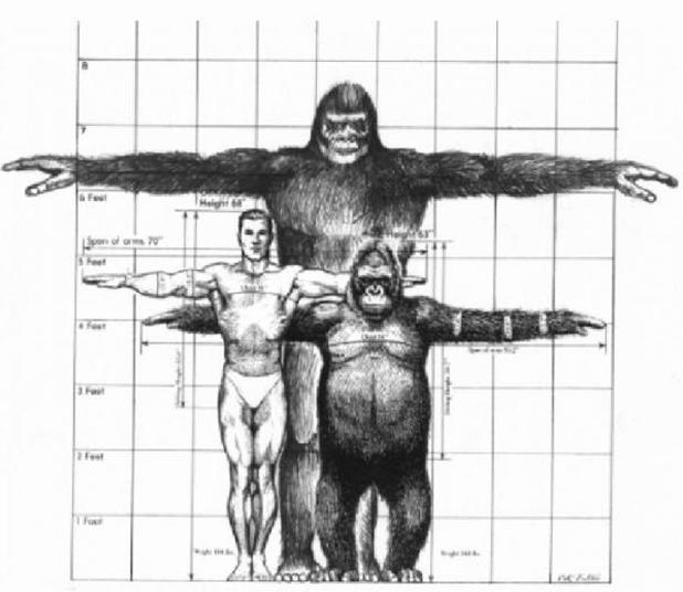 Average gorilla penis size
