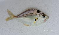Longspine Ponyfish