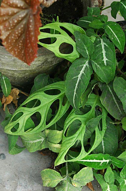 Floraciones en m laga y m s flora ornamental de indonesia 10 for Planta ornamental helecho nombre cientifico