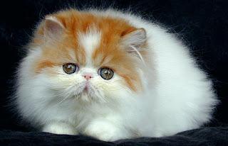 Gambar Wallpaper Foto Unik Kucing Lucu yang Menggemaskan