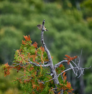 image of a wren sitting on top of a cedar tree, Brockway Mountain, The Keweenaw, Michigan