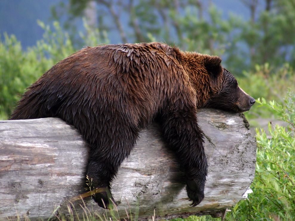 Grizzly Bear Basic Facts And New Pictures | The Wildlife