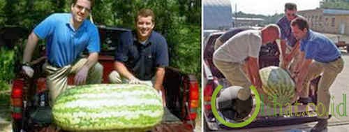 Semangka terbesar di dunia (268,8 Lbs atau 122 Kg)