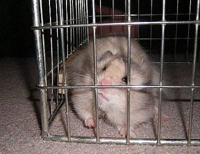 Hamster Snoopi hat Pech