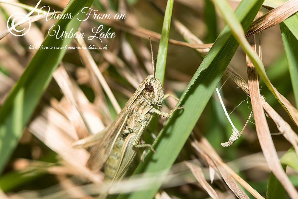Meadow Grasshopper - Manor Farm, Milton Keynes