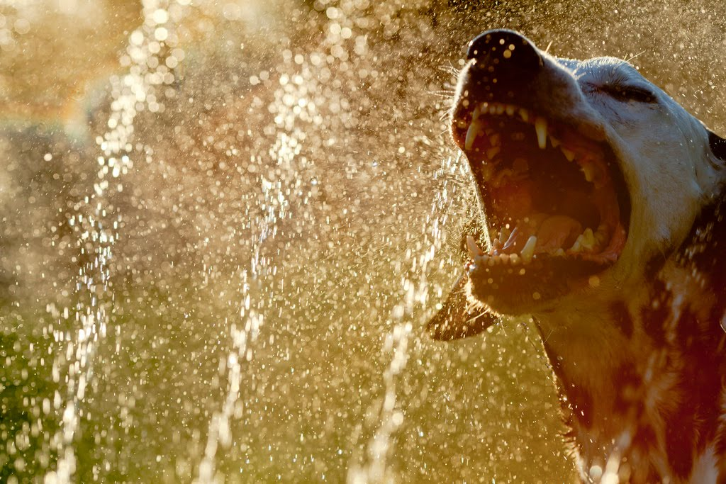 32 dogs play in sprinklers 32 pics amazing creatures