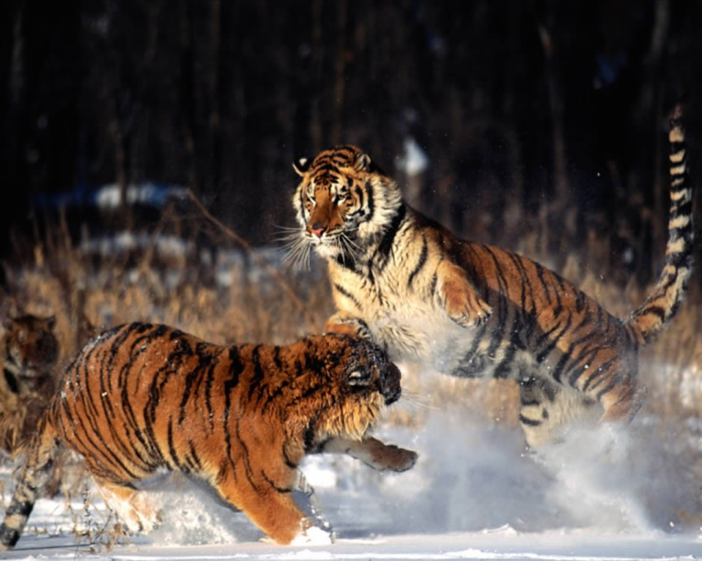 You Have Read This Article Lion Tiger With The Title Wallpaper Pictures Of Can Bookmark Page URL