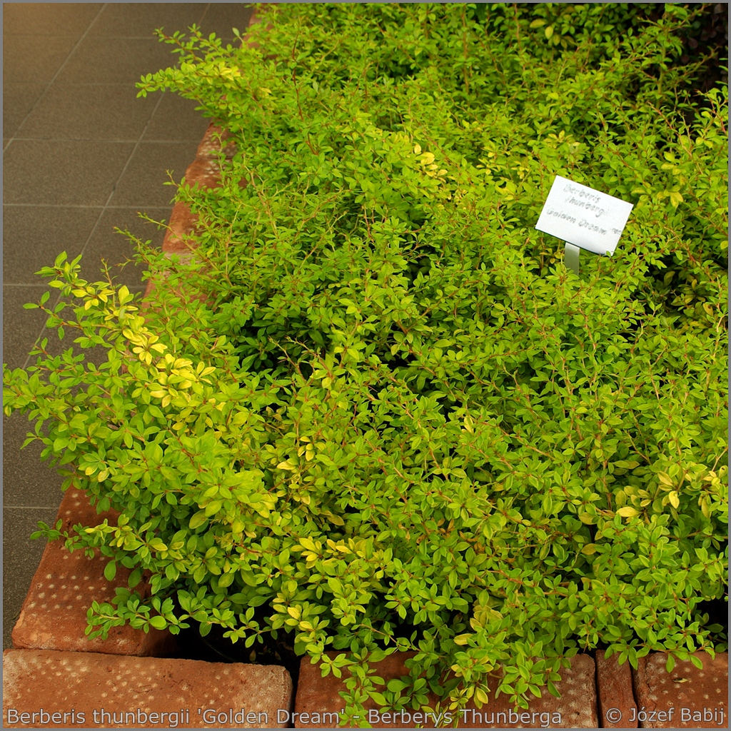 Berberis thunbergii 'Golden Dream' - Berberys Thunberga 'Golden Dream'